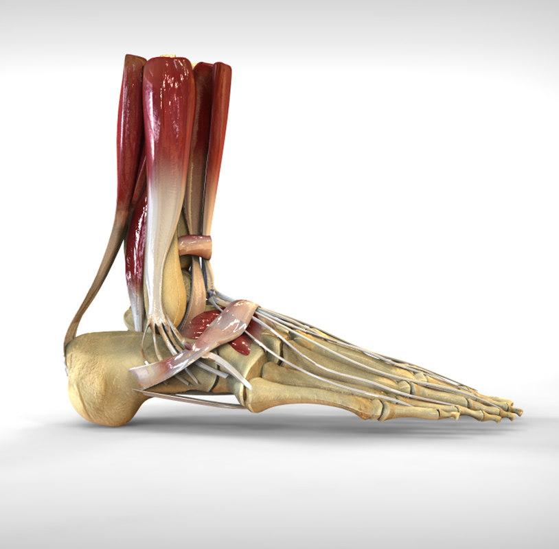 human male foot bone 3d model