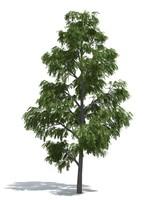 Acacia tree (3) by 3dmentor