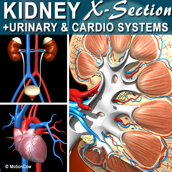 3d model cross sectional human kidney