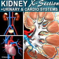 Kidney X-Section Complete