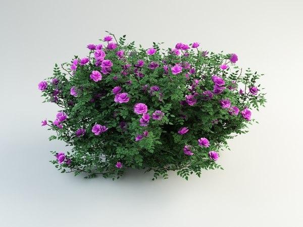 burnet rose rosa 3d max