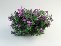 Burnet Rose, Rosa pimpinellifolia(1)