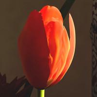 tulip 3d max