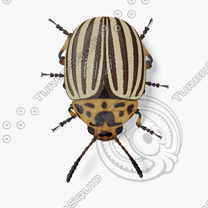 3d model colorado potato beetle
