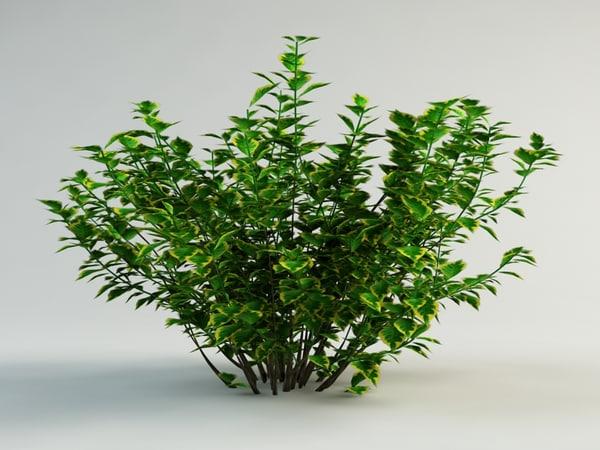maya cornus alba spaethii
