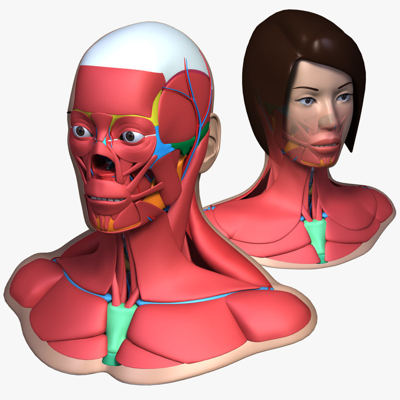 head anatomy male female 3d 3ds
