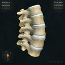 Vertebral column Lumbar