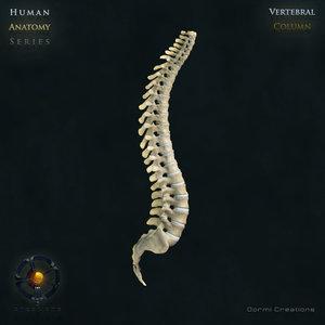 human vertebral column vertebra max