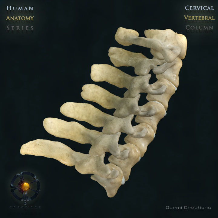 vertebral column cervical vertebra 3d model