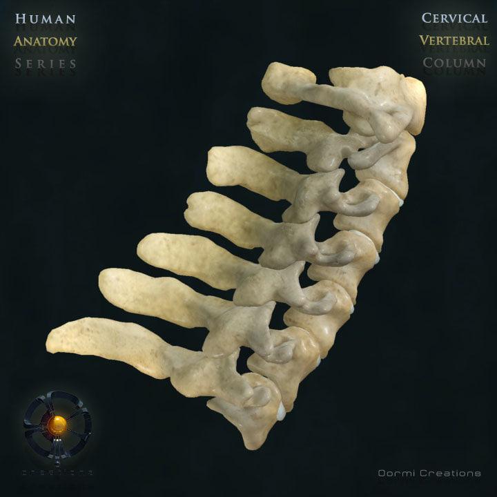 vertebral column cervical vertebra 3d max