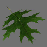 Scarlet oak leaf green