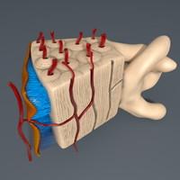 Human Bone Model