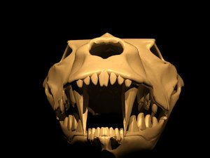 3d wolf head skeleton