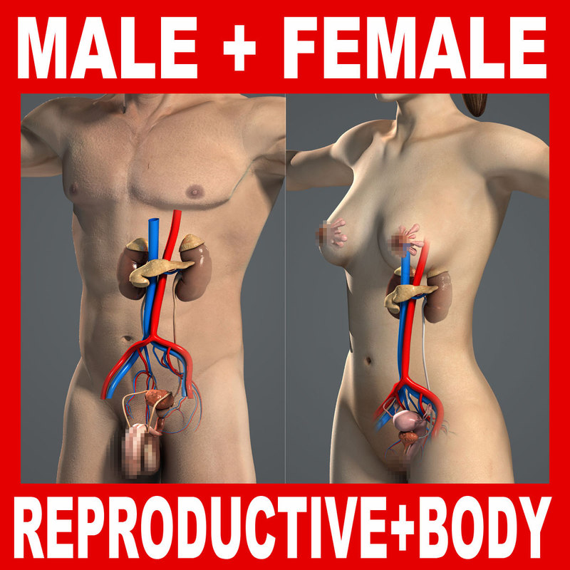3d model human male female reproductive