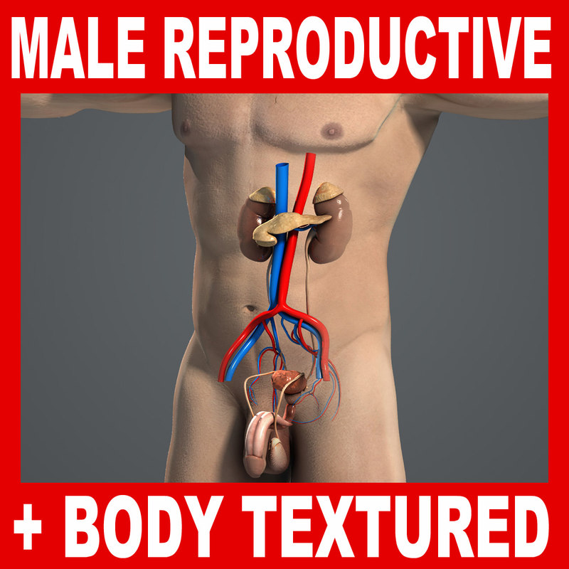 medically reproductive urinary systems 3d max
