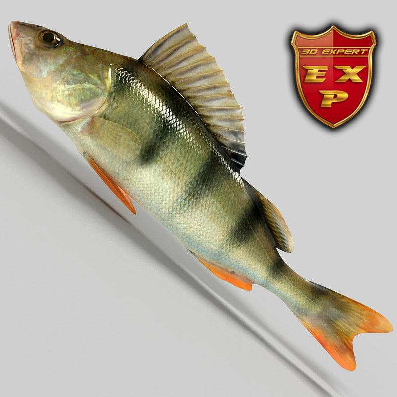 perch fish 3d model