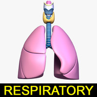 3d model respiratory anatomy lung