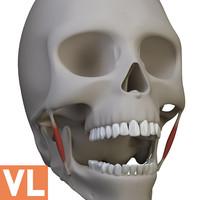3d 3ds skull medical