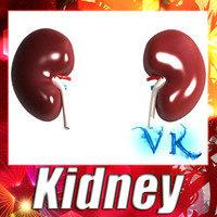 kidney anatomy 3d max