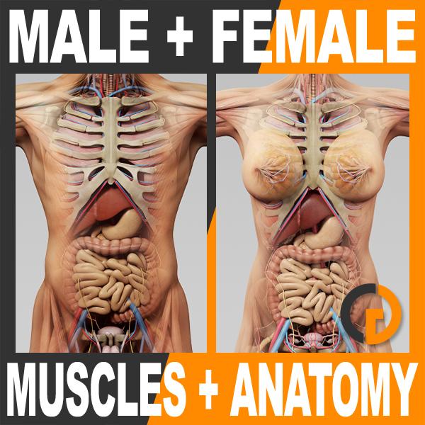 3d model of human male female anatomy