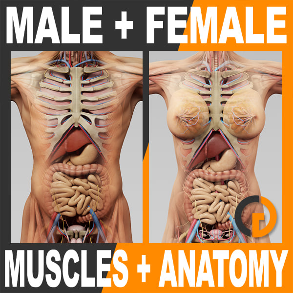 3d model of human male female anatomy