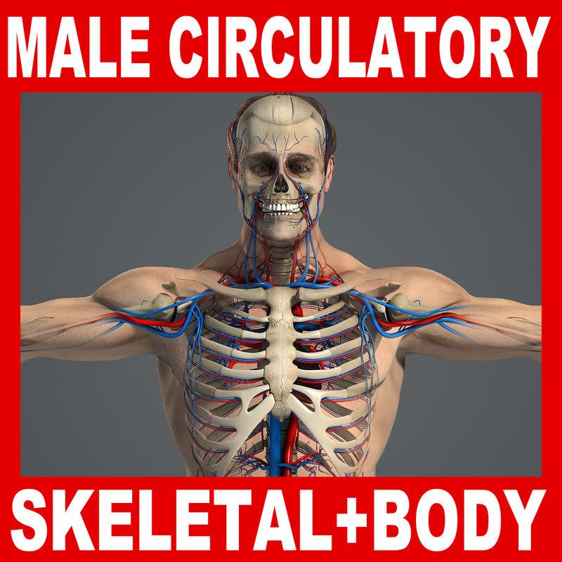 3d human skeletal male body