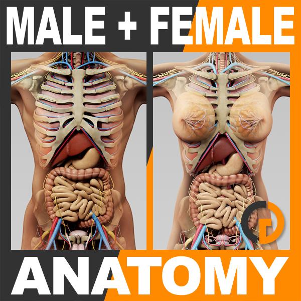 3d human male female anatomy