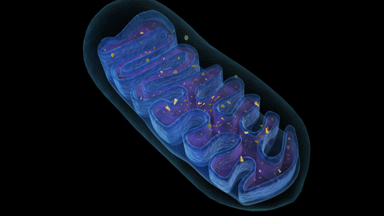 3d model mitochondria energy cell
