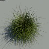 Japanese Silver Grass With Flower