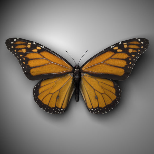 monarch butterfly c4d
