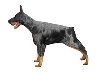 3d canine doberman dog model