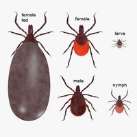 max ixodes scapularis blood