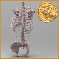 Human Skeleton Torso