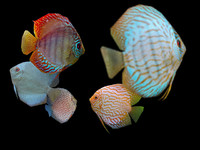 Discus Fish Bundle Low Poly