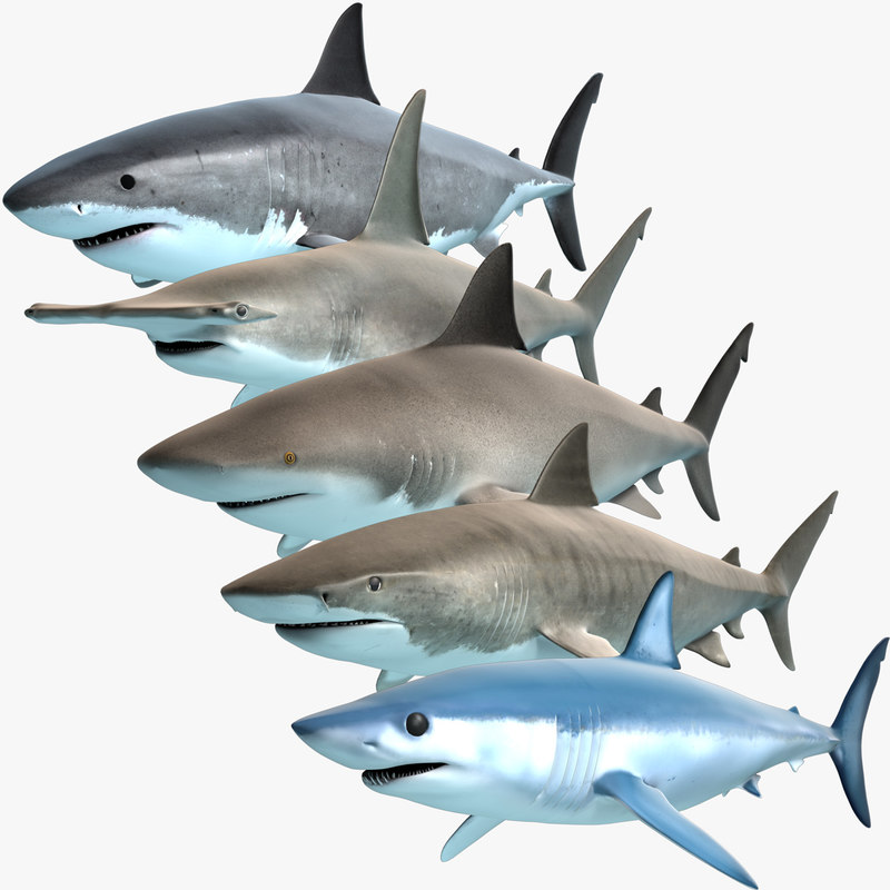 3d model shark predators great