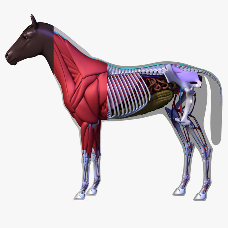 Horse anatomy games