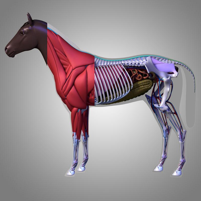 Horse Circulatory System