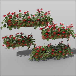 planted pelargonium flowers 3d model