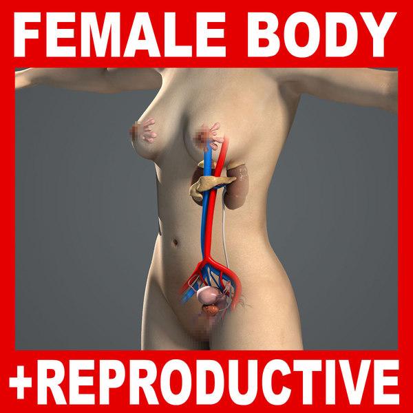 human female reproductive urinary 3d model