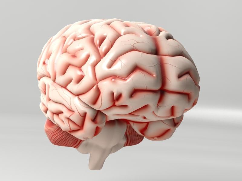 3d max brain anatomy
