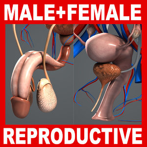 male female reproductive urinary 3d 3ds
