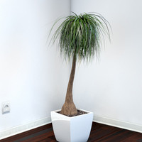 plant beaucarnea recurvata 3d max