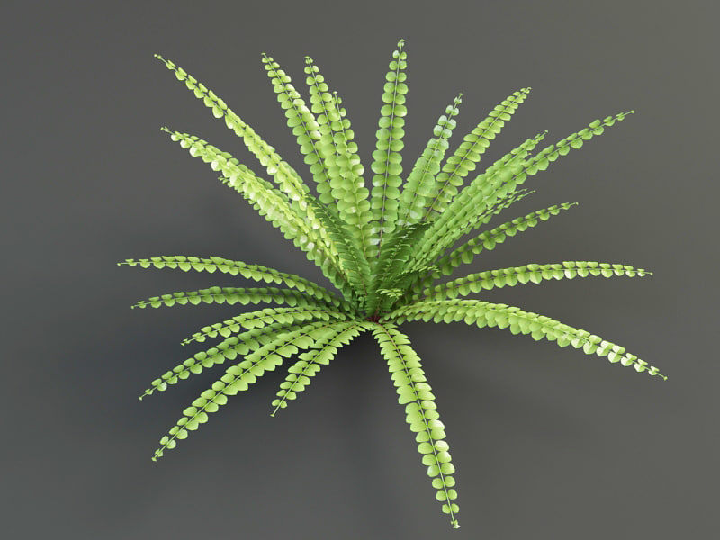 asplenium bush shrub 3d model