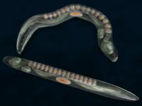Worm (C. elegans)