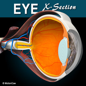 cross sectional human eye 3d model