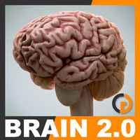3ds max human brain - internal anatomy