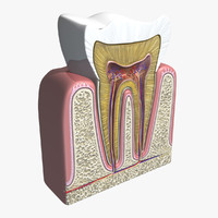 3d model cross section tooth
