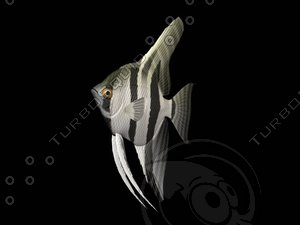 angel fish 3d model