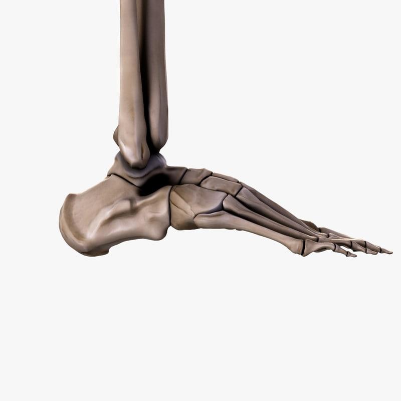 3d model human bones foot