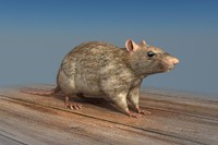 Rat Low Poly 3D Model